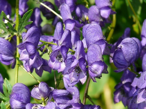 aconite-poison-herb-plant